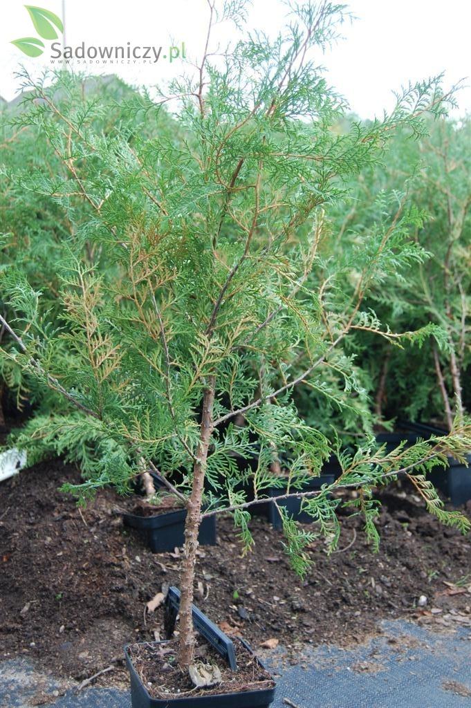 Abendländischer Lebensbaum Ellvangeriana