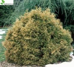 abendl ndischer lebensbaum thuja occidentalis teddy pflanzen enzyklop die. Black Bedroom Furniture Sets. Home Design Ideas