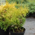 Abendländischer Lebensbaum Europe Gold