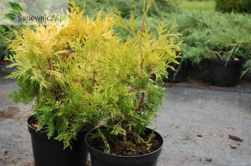 abendlaendischer lebensbaum thuja occidentalis europe