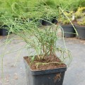 Abendländischer Lebensbaum Filiformis
