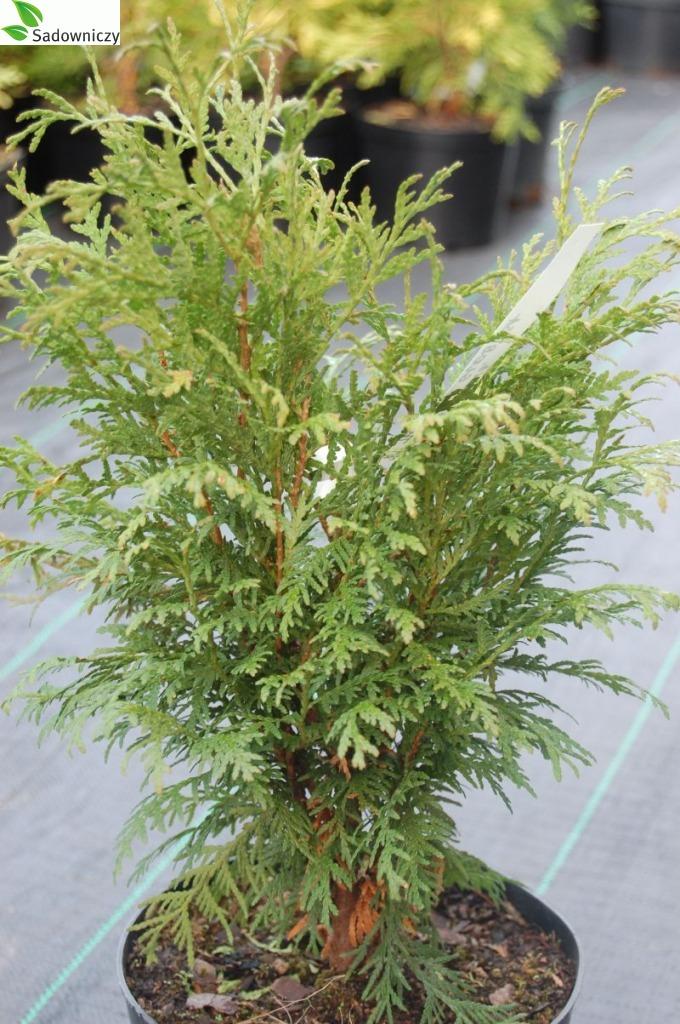 Abendländischer Lebensbaum Globosa