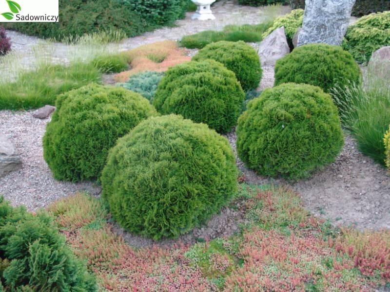 Abendländischer Lebensbaum Hoserii