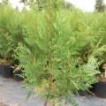 Abendländischer Lebensbaum Hoveyi