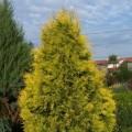 Abendländischer Lebensbaum Sunkist