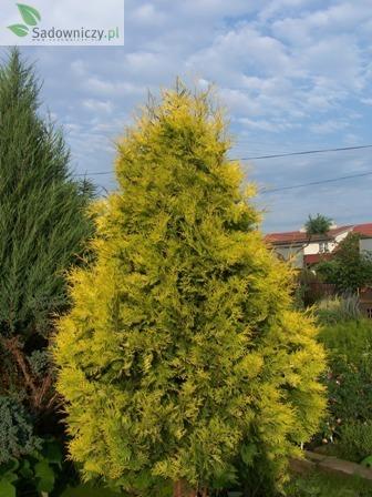 abendl ndischer lebensbaum thuja occidentalis sunkist 39 pflanzen enzyklop die. Black Bedroom Furniture Sets. Home Design Ideas