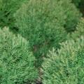Abendländischer Lebensbaum Teddy