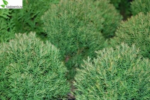 abendl ndischer lebensbaum thuja occidentalis 39 teddy 39 pflanzen enzyklop die. Black Bedroom Furniture Sets. Home Design Ideas