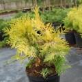 Abendländischer Lebensbaum Yellow Ribon