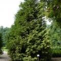 Riesen-Lebensbaum Zebrina