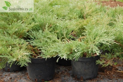 kriech wacholder juniperus horizontalis andorra compact. Black Bedroom Furniture Sets. Home Design Ideas