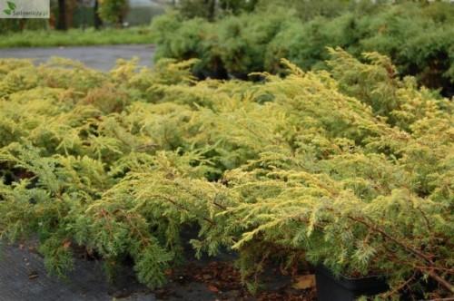 gemeiner wacholder juniperus communis depressa aurea. Black Bedroom Furniture Sets. Home Design Ideas