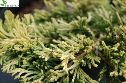 kriech wacholder juniperus horizontalis golden carpet 39 pflanzen enzyklop die. Black Bedroom Furniture Sets. Home Design Ideas