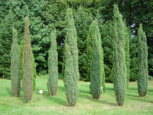 gemeiner wacholder juniperus communis hibernica. Black Bedroom Furniture Sets. Home Design Ideas