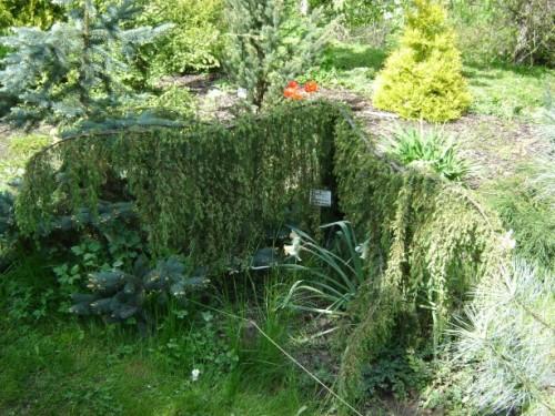 gemeiner wacholder juniperus communis horstmann. Black Bedroom Furniture Sets. Home Design Ideas