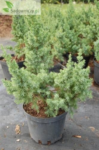 chinesischer wacholder juniperus chinensis monarch 39 pflanzen enzyklop die. Black Bedroom Furniture Sets. Home Design Ideas