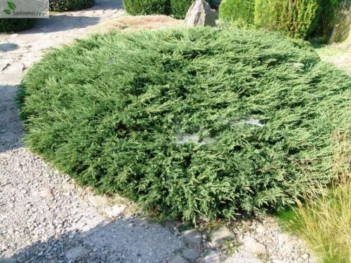 gemeiner wacholder juniperus communis repanda. Black Bedroom Furniture Sets. Home Design Ideas