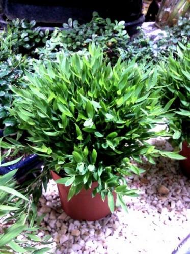 zimmerbambus pogonatherum paniceum pflanzen enzyklop die. Black Bedroom Furniture Sets. Home Design Ideas