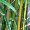 Lieblicher Bambus