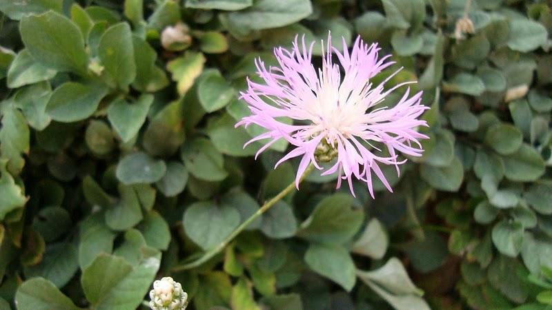 Zierliche Silber-Flockenblume