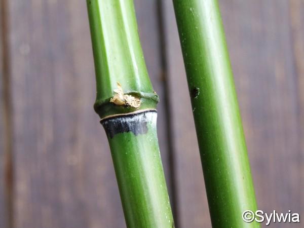 Grüner Pulver Bambus