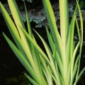 Sumpf-Schwertlilie Variegata