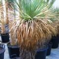 Yucca thompsona
