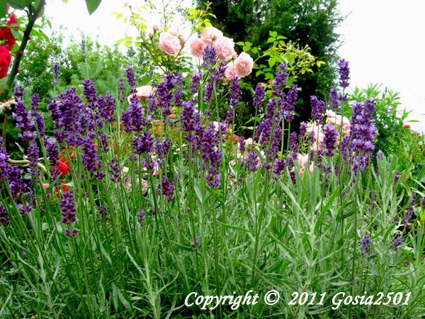 Echter Lavendel Hidcote Blue Strain