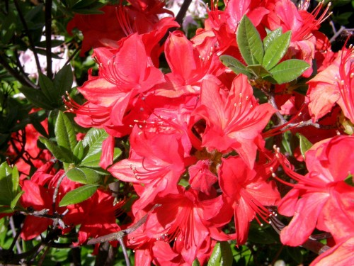 gro bl tige azalee rhododendron azalea parkfeuer. Black Bedroom Furniture Sets. Home Design Ideas