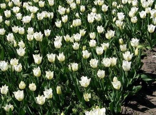Garten-Tulpe Agrass White