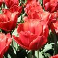 Garten-Tulpe Arma