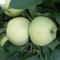 Apfel Antonovka