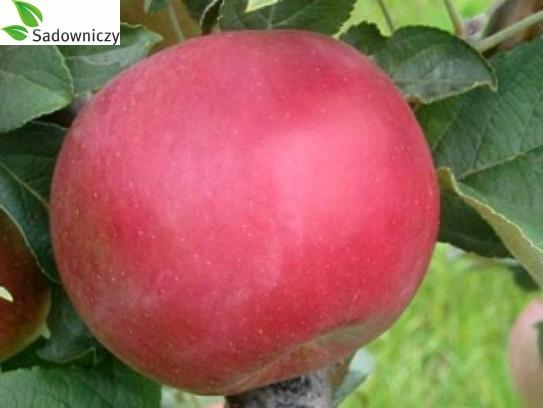 Apfel Idared