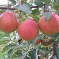 Apfel Szampion
