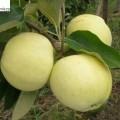 Apfel Weißer Klarapfel