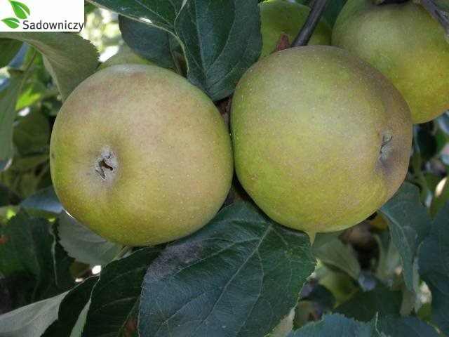Apfel Graue Renette