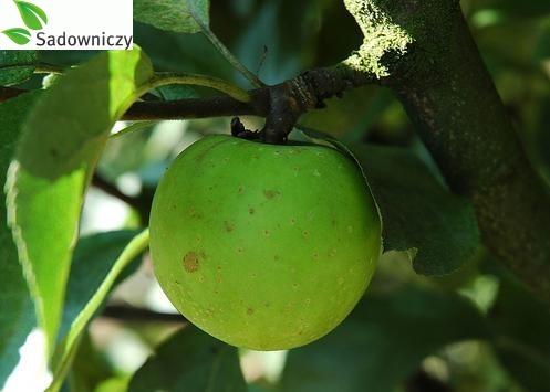 Apfel Kosztela