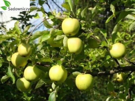 Apfel Winter Goldparmäne