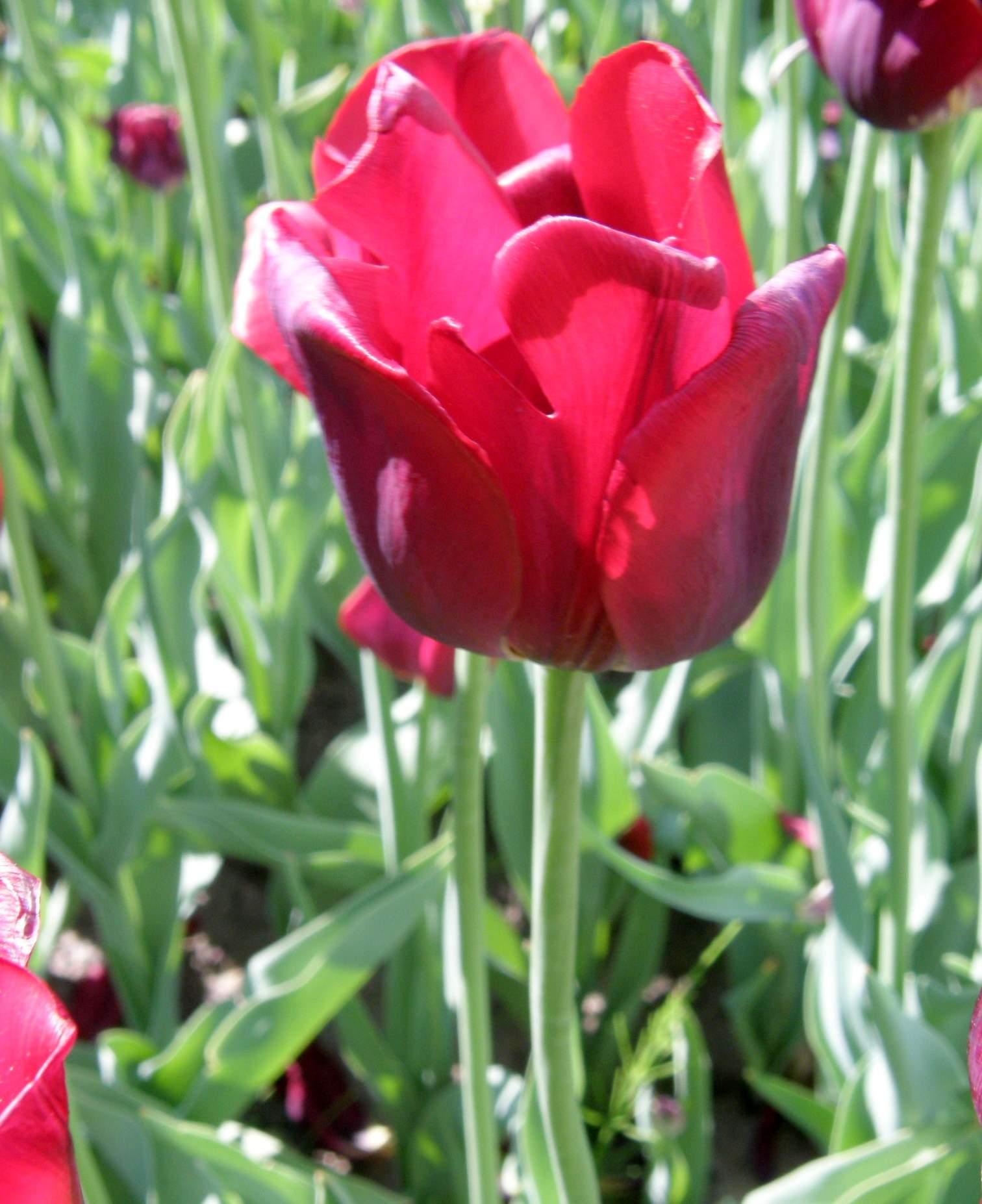 Garten-Tulpe Bastogne