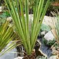 Bajonett-Palmlilie