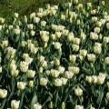 Garten-Tulpe Cheers