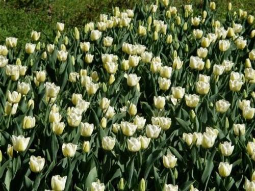 garten tulpe tulipa hybr triumph cheers pflanzen. Black Bedroom Furniture Sets. Home Design Ideas