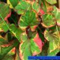 Chamäleon-Pflanze Chameleon