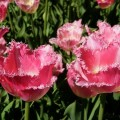 Garten-Tulpe Fancy Frills