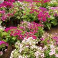 Garten-Zinerarie
