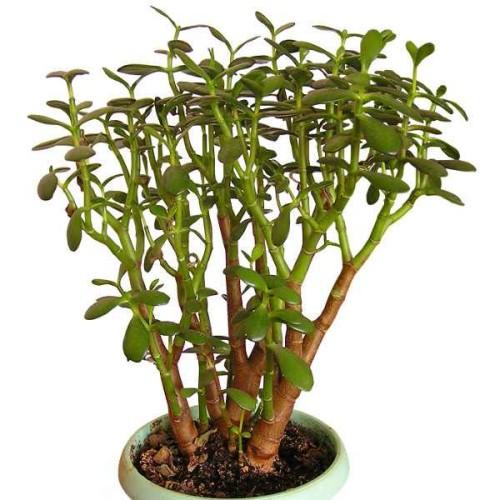geldbaum crassula ovata pflanzen enzyklop die. Black Bedroom Furniture Sets. Home Design Ideas