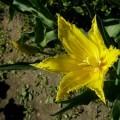 Garten-Tulpe Hamilton