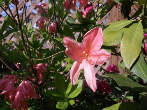 gro bl tige azalee rhododendron azalea hugo hardijzer 39 pflanzen enzyklop die. Black Bedroom Furniture Sets. Home Design Ideas