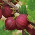 Stachelbeere Hinnonmaki Rot