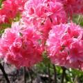 Großblütige Azalee Homebush